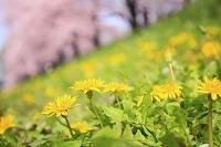 タンポポの花と桜並木