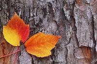 山形県 天童市 カエデの葉と木肌