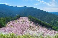 東吉野のしだれ桜