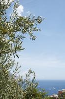 アマルフィ海岸の丘に生えるオリーブの木