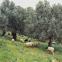 ギリシャ オリーブ畑の羊