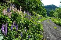 北海道 北見市 林道沿いに繁茂するルピナス