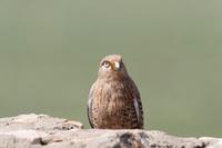 メジロチョウゲンボウ(成鳥)