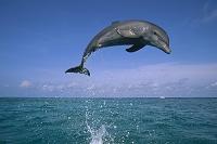カリブ海 ジャンプするハンドウイルカ