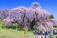 福島県 三春滝桜