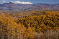 八千穂高原 カラマツ黄葉