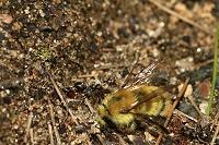マルハナバチを運ぶアリ