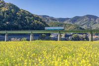 愛媛県 列車とナノハナ
