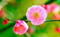 梅 花と蕾