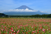 山梨県 ポピーと富士山