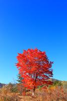 長野県 乗鞍高原 大カエデの紅葉と青空