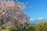 山梨県 桜と甲斐駒ヶ岳右の山