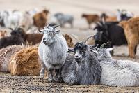 モンゴル 放牧されているヤギ