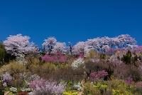 福島県 花見山公園 桜と花桃の花
