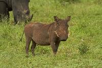 南アフリカ共和国 クルーガー国立公園 イボイノシシ