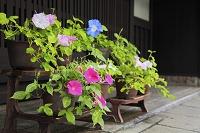 京都府 朝顔と西陣の町家