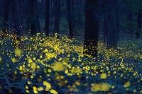 岡山県 ホタルの光る森