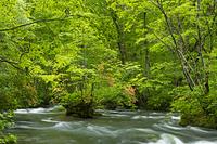 ヤマツツジ咲く奥入瀬渓流三乱の流れ