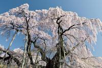 福島県 三春町の桜