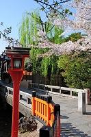 京都府 祇園白川の染井吉野