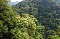 宮崎県 綾渓谷の照葉樹林帯