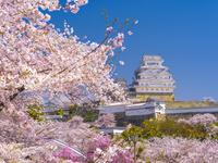 日本 兵庫県 姫路城と桜