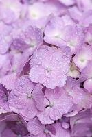 雨上がりのアジサイの花