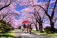 岩手県 桜の北上展勝地