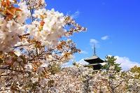 京都府 仁和寺 名勝御室桜と五重塔