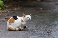 石垣島 三毛猫