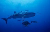 タイ ジンベイザメとコバンザメ