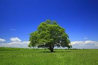 北海道 一本の木