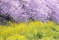 潤井川の桜並木と菜の花