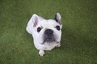 フレンチ・ブルドッグ 犬