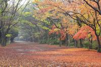 京都府 下鴨神社 雨降る紅葉の糺の森と馬場