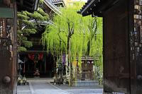 京都府 頂法寺 山門越しに見る新緑のしだれ柳と本堂(六角堂)