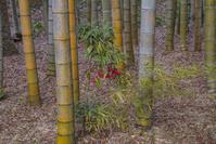 静岡県 修善寺温泉 竹林の小径 マンリョウの実