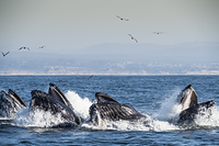 アメリカ合衆国 ザトウクジラ