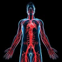心臓と血液の循環