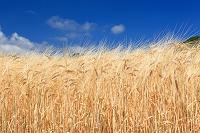 北海道 富良野 大麦の麦穂