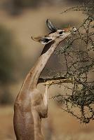 ケニア サンブル国立保護区 ジェレヌク