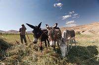 イラン ヤスジ近郊 ザクロス山脈 ロバ 飼葉つくり