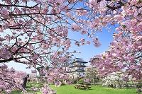北海道 朝の松前城と桜