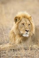 タンザニア  セレンゲティ ライオン