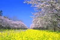 秋田県 桜の菜の花ロード