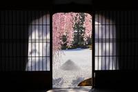京都府 高台寺 唐門の花頭窓越し見る波心庭のベニシダレ