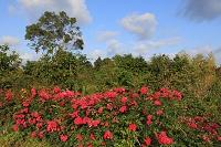 千葉県 バラと青空風景