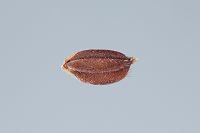 お米 米粒 種籾 赤米 モチ米