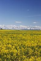 北海道 カラシナと十勝岳連峰
