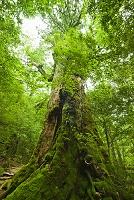 屋久島 七本杉